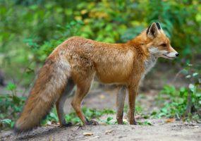 Wildtier-Beispiel Fuchs