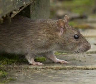 service_wildtiere_ratte