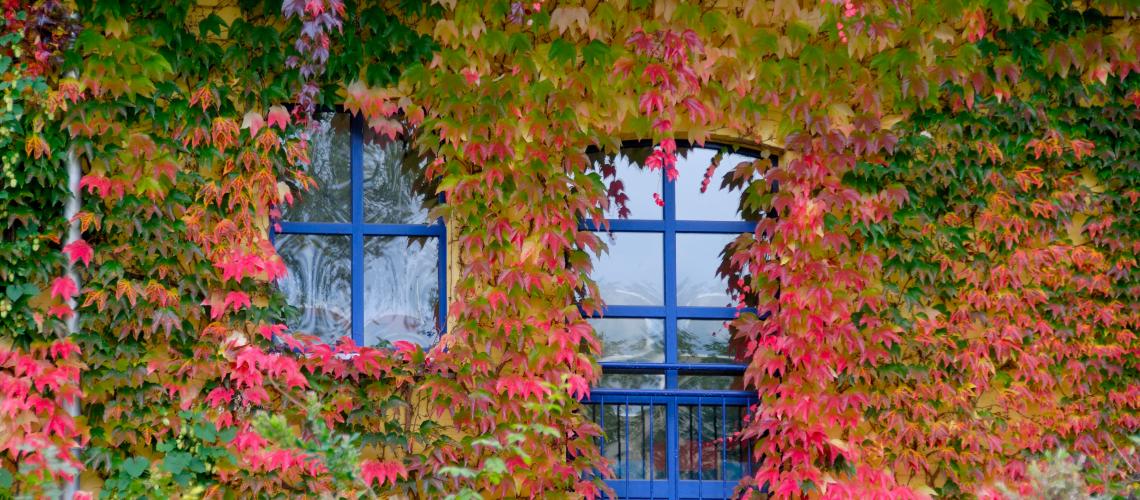 Mit Wein berankte Hauswand, dazwischen blaue Fensterrahmen
