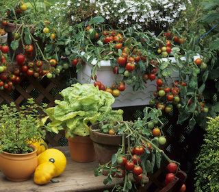 Ein Garten mit zahlreichen Tomatenpflanzen und Früchten.