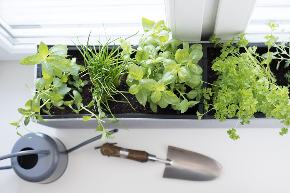 Flower box on a windowsill with basil, chives and parsley.