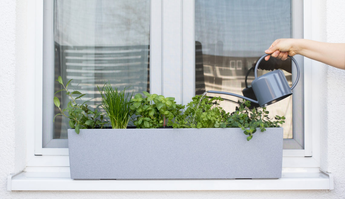 A watering can is watering various herbs on a windowsill.