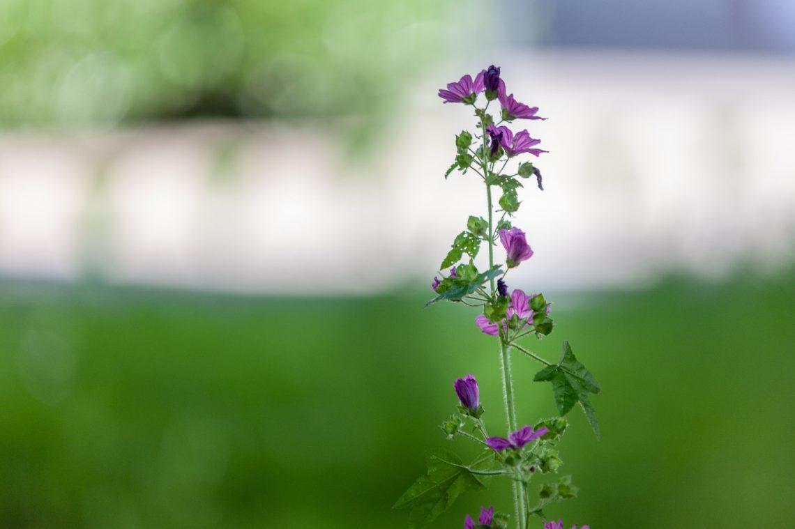 Blühende Blume auf Wiese